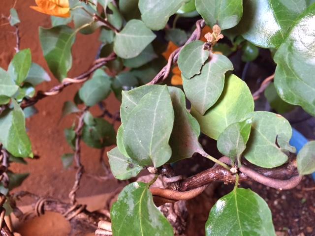 Bugambilia - mejorar aspecto de hojas Bugam-hojas